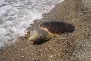 Πάτρα: Εντοπίστηκε νεκρή χελώνα καρέτα-καρέτα, στον Καστελόκαμπο