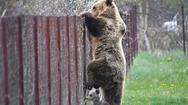 Καστοριά: Αρκούδα σκαρφαλώνει φράχτη με το μωρό της και «κλέβει» κεράσια!