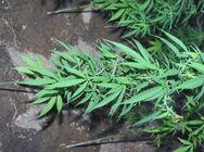Σπείρα καλλιεργούσε 1.600 δενδρύλλια κάνναβης στον Κάλαμο Αττικής