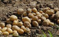 Κλαίνε με 'μαύρο' δάκρυ οι παραγωγοί πατάτας στη Δυτική Αχαΐα
