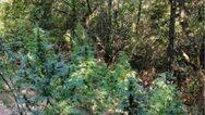 Μεσσηνία: Εντοπίστηκε φυτεία δενδρυλλίων κάνναβης