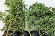 Καβάλα: Καλλιεργούσε χασισόδεντρα στο μαντρί του