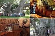 Δέντρο ηλικίας 6000 ετών 'φιλοξενεί' μέσα του ένα... μπαρ! (pics+video)