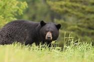 Μια απρόσμενη επίσκεψη αρκούδας... στην βεράντα! (pic+video)