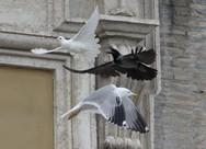 Γλάροι και κοράκια κατασπαράζουν τα περιστέρια της ειρήνης του Πάπα! (pics)