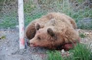 Κατέληξε τελικά η αρκούδα που χτυπήθηκε από όχημα στην Εγνατία