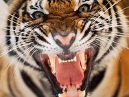 Τίγρης τρώει… το δούλεμα του αιώνα! (video)