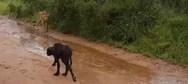 Βουβάλι σώζει το μικρό της τελευταία στιγμή από τα δόντια λιονταριού! (video)