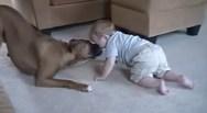 Ένα μπόξερ 'επιτίθεται' σε παιδί με... φιλιά! (video)