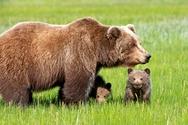 Ήπειρος: Η αναρρίχηση αρκούδας με το μωρό της που κάνει θραύση (video)