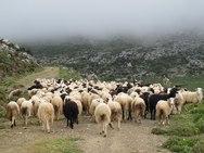 Ηλεία: Σε 'καραντίνα' τα πρόβατα για τον 'λύκο' του καταρροϊκού πυρετού!