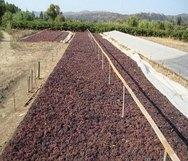 Ηλεία: Μειωμένη η παραγωγή σταφίδας λόγω περονόσπορου