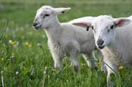 Πρόβατα 'κατασκήνωσαν' στο γήπεδο του Λαμπετίου (pics)