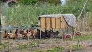 Ηλεία: Φαρμάκωσαν κότες με φυτοφάρμακο στην Ανδραβίδα