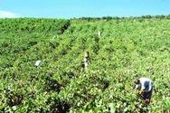 Αιγιάλεια: Μειωμένη έως και 30% η φετινή παραγωγή της κορινθιακής σταφίδας
