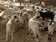 Ηλεία: Δηλητηρίασαν πρόβατα, σκυλιά και μία κότα στην Μαραθιά