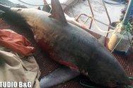 Στη Νέα Κίο ψάρεψαν καρχαρία 4 μέτρων (pics)