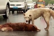 Συγκινητικό βίντεο - Σκύλος προσπαθεί να ξυπνήσει το νεκρό φίλο του!