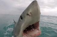 Έτσι επιτίθεται ένας μεγάλος λευκός καρχαρίας (video)