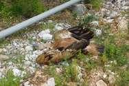 Μεσολόγγι: Δηλητηρίασαν όρνια στο Εθνικό Πάρκο της Κλεισούρας