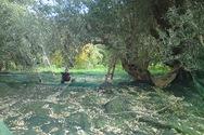 Ηλεία: Τραυματίστηκε ενώ μάζευε ελιές