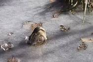 Έτσι επιβιώνουν οι αλιγάτορες μέσα στον πάγο (video)