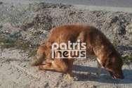 Ηλεία: Σοκ με σκύλο που είχε διαλυμένα τα πίσω του πόδια - Σκληρές εικόνες