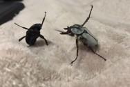 Μονομαχία ανάμεσα σε δύο σκαθάρια (video)