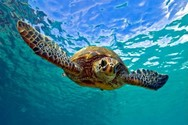 Ξεκίνησαν οι δημόσιες εκσκαφές φωλιών θαλάσσιων χελωνών
