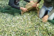 Κραυγές απελπισίας από τους ελαιοπαραγωγούς της Ηλείας - Στο 80% η ζημιά