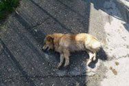 Δυτική Ελλάδα - Άγνωστος θανάτωσε τρεις σκύλους