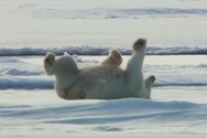Πώς στεγνώνουν οι πολικές αρκούδες μετά από μια βουτιά στα παγωμένα νερά; (video)