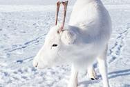 Φωτογράφος απαθανάτισε έναν εξαιρετικά σπάνιο λευκό τάρανδο (φωτο)