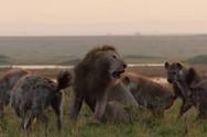 Λιοντάρι δίνει μια μάχη επιβίωσης απέναντι σε περισσότερες από 20 ύαινες (video)