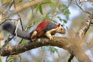 Γνωρίστε τους πολύχρωμους σκίουρους της Ινδίας