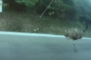 Μία στρουθοκάμηλος προκάλεσε... κυκλοφοριακό κομφούζιο (video)