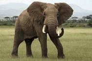 Ελέφαντας - Η φοβερή ανατομία της προβοσκίδας του