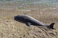Δυτική Ελλάδα - Ένα δελφίνι εντοπίστηκε νεκρό στην παραλία Κάτω Πλατανίτης