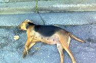 Ηλεία: Ασυνείδητος δηλητηρίασε ζωάκια
