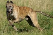 Γκρεϊχάουντ - Αυτή είναι η ταχύτερη ράτσα σκύλων