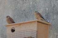 Τοποθέτηση τεχνητών φωλιών για το Κιρκινέζι στα Λεχαινά