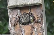 Κουκουβάγια μεγαλώνει μικρό παπάκι, σαν δικό της παιδί (φωτο)