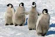 Οι Αυτοκρατορικοί Πιγκουίνοι κινδυνεύουν με αφανισμό