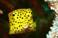 Boxfish - Ένα παράξενο ορθογώνιο ψάρι