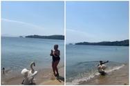 Η αντίδραση ενός κύκνου όταν μία τουρίστρια επιχειρεί να τον φωτογραφίσει (video)