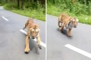 Τίγρης επιτέθηκε σε ανυποψίαστο μοτοσυκλετιστή (video)