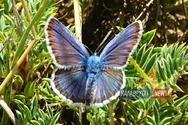 Οι σπάνιες μπλε πεταλούδες του Χελμού στην κοιλάδα της Στύγας