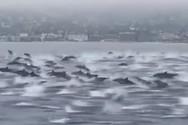 Δελφίνια κολυμπούν μαζί στις ακτές της Καλιφόρνιας (video)