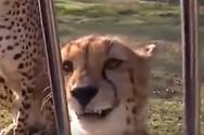 Τσιτάχ νιαουρίζει σαν γάτα (video)