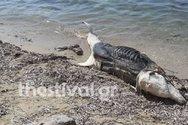 Eντοπίστηκε δελφίνι σε αποσύνθεση σε παραλία της Χαλκιδικής
